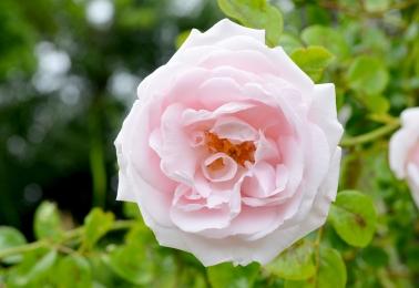 still on the roses